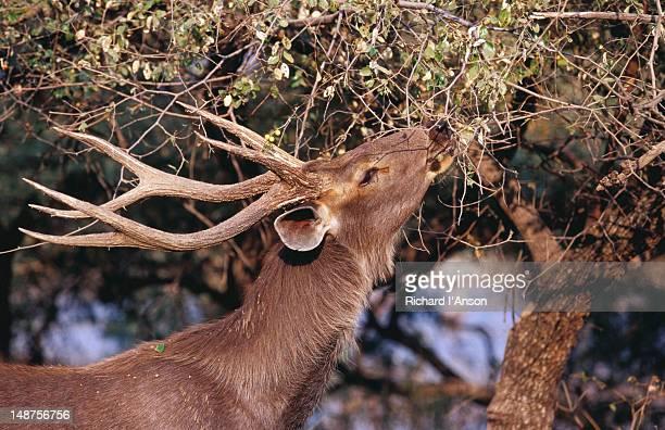 sambar eating leaves on tree. - erbivoro foto e immagini stock