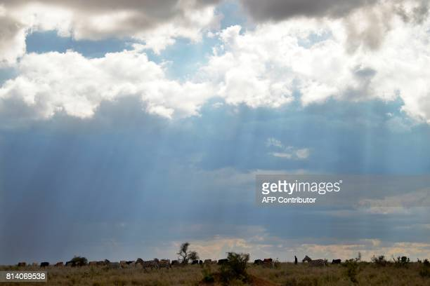 A Samburu man grazes cattle alongside wildlife on June 21 2017 in the wilds of the Laikipia county where vast privately run conservation areas like...