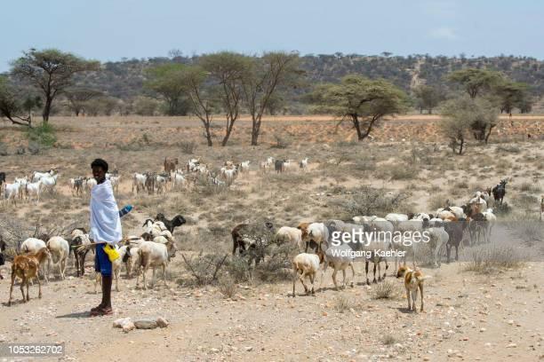 Samburu teenage boy is herding sheep and goats outside his Samburu village near Samburu National Reserve in Kenya