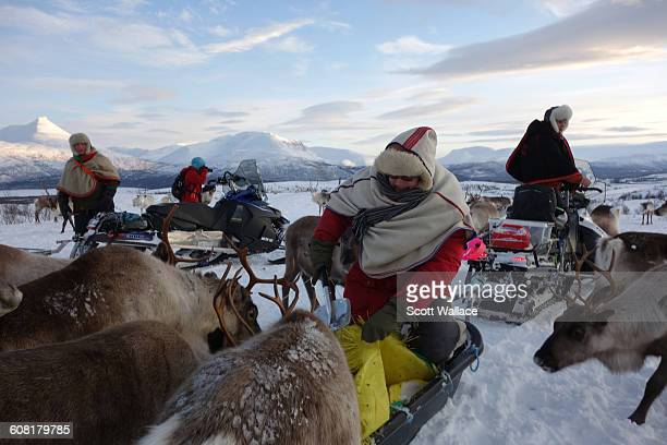Sami herders tend to their reindeer in their winter grazing grounds in Troms County Norway January 27th 2016