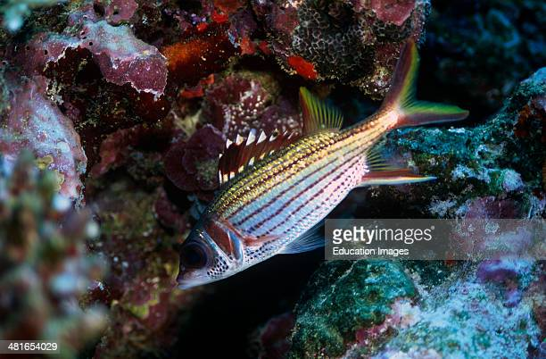 Sammara squirrelfish Neoniphon sammara and Jewel Damselfish Fiji
