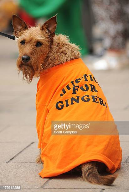 Sammy the dog wears a 'Justice for Gingers' t-shirt at the Ginger Pride Walk on August 10, 2013 in Edinburgh, Scotland. While Glasgow held its annual...