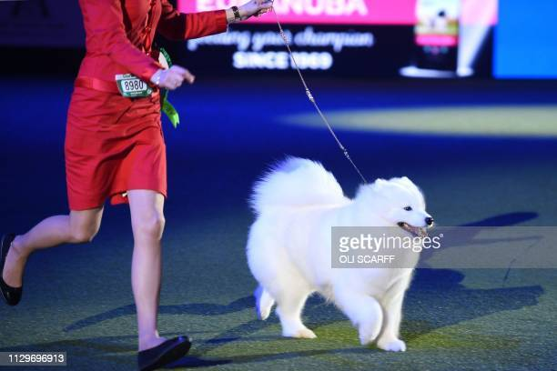Samoyed Charleen Dorian Spring Charleen Lumiere de la Vie is shown at the Best in Show event on the final day of the Crufts dog show at the National...