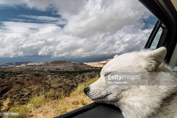 Samoyed Dog enjoying Escalante, Utah