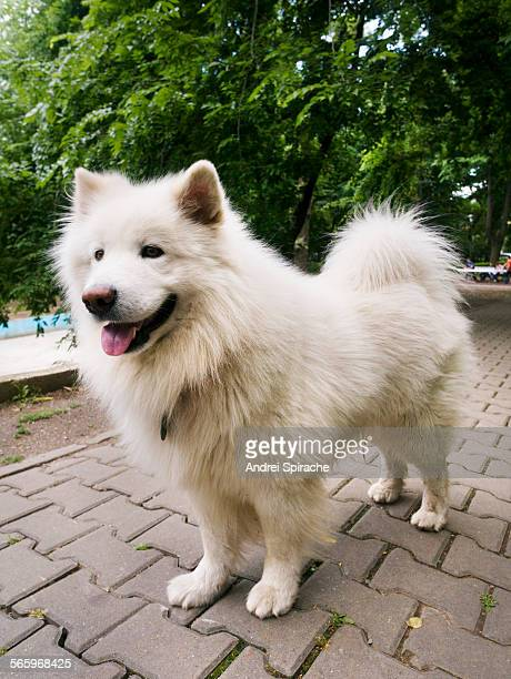 Samoyed dog in a park