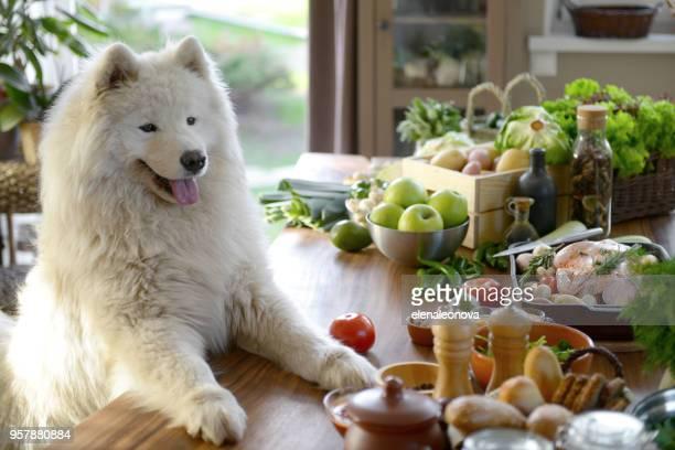 samoyed dog in the kitchen