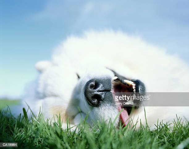 Samoyed Dog lying in grass with mouth open, ground view, close-up