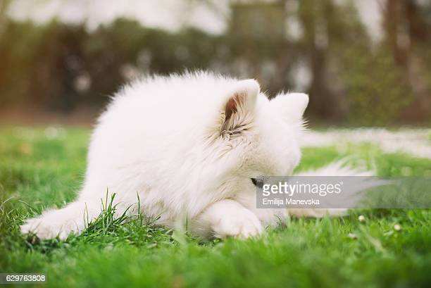 Samoyed dog lying in the grass