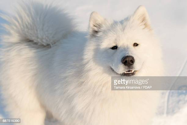 Samoyed dog on snow in the winter
