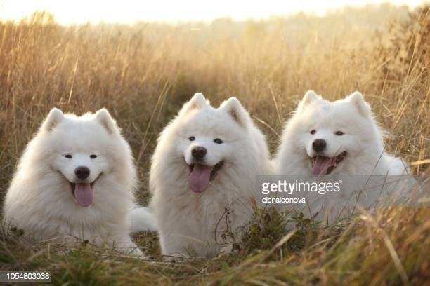 Samoyed dog ( autumn)