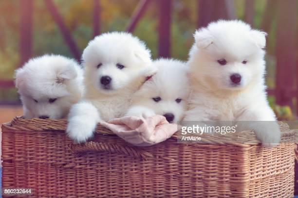 samoyed dog puppies - puppy stock pictures, royalty-free photos & images
