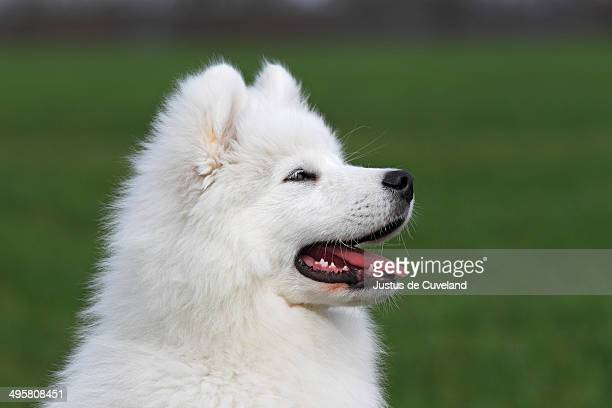 Samoyed dog, puppy, 3.5 months, male, on a meadow, Germany