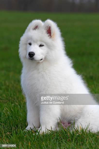 Samoyed dog, puppy, 3.5 months, male, sitting on a meadow, Germany