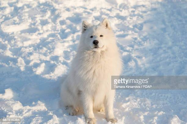 Samoyed dog sitting in snow in winter