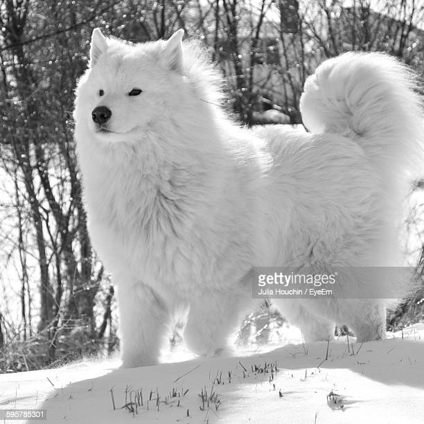 Samoyed Dog Standing On Snow Against Trees During Winter