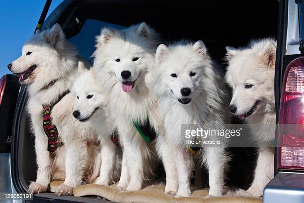 Samoyed dogs in car