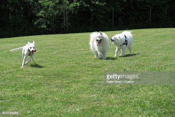 Samoyed Dogs On Grassy Field At Park