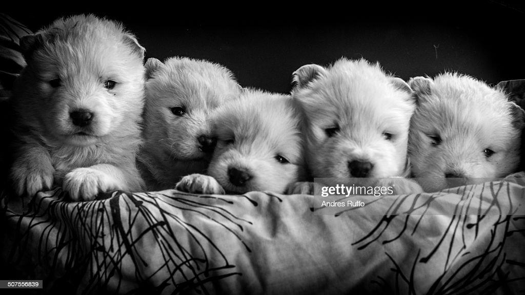 Samoyed dogs puppys : Stock Photo