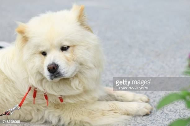 Samoyed Looking Away While Resting On Footpath