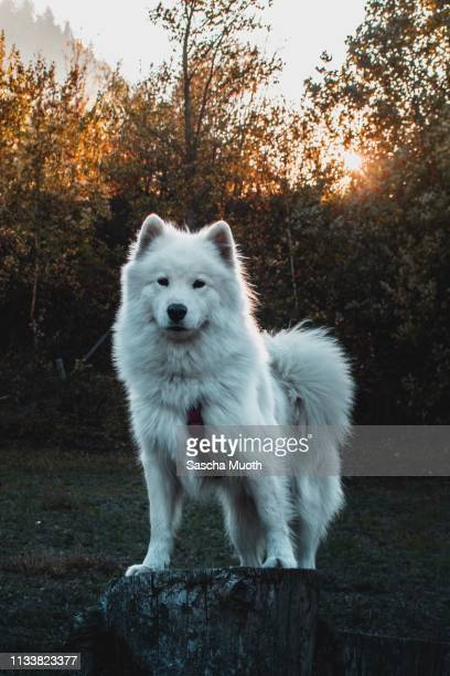 samoyed portrait picture - freundschaft stockfoto's en -beelden
