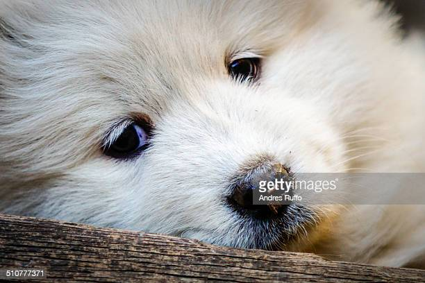samoyed puppy dog - andres ruffo stock pictures, royalty-free photos & images