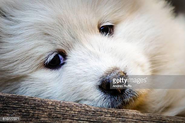 Samoyed Puppy Dog