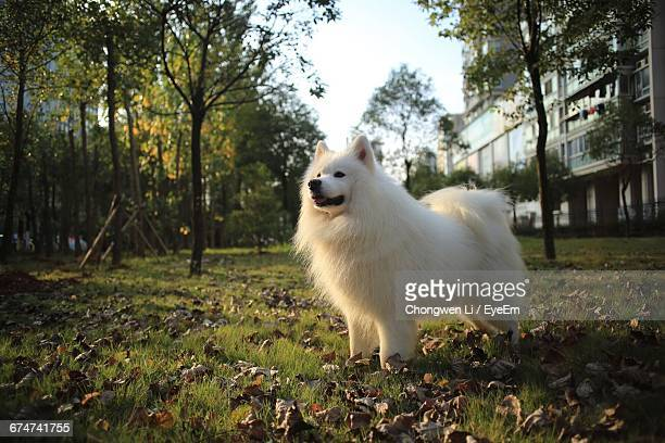 Samoyed Standing On Grassy Field In Park During Sunny Day