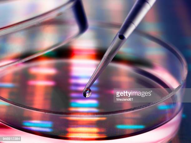 sample of dna being pipetted into a petri dish over genetic results - biotechnology stock pictures, royalty-free photos & images