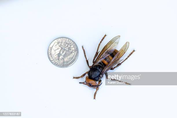 Sample specimen of a dead Asian Giant Hornet from Japan, also known as a murder hornet, is shown next to a U.S. Quarter on July 29, 2020 in...
