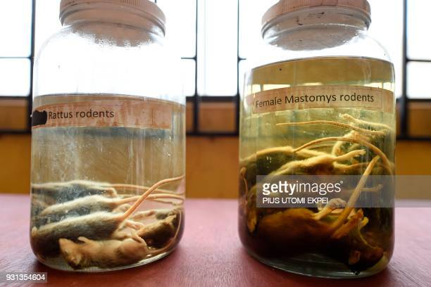 Samples of rodents that spread Lassa fever are displayed at the Institute of Lassa Fever Research and Control in Irrua Specialist Teaching Hospital...