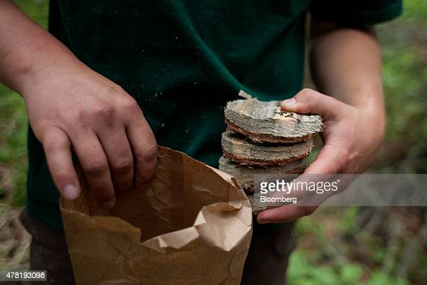 Samples taken from pine trees infested by mountain pine beetles are prepared for analysis in a forest near Whitecourt Alberta Canada on Thursday June...
