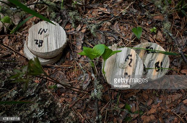 Samples taken from pine trees infested by mountain pine beetles are seen on the ground in a forest near Whitecourt Alberta Canada on Thursday June 4...