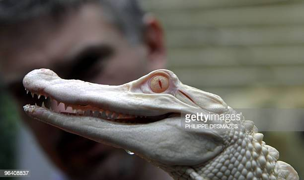 Samuel Martin director of 'La Ferme aux Crocodiles' in Pierrelatte central eastern France holds one of the two albinos alligators arriving from...