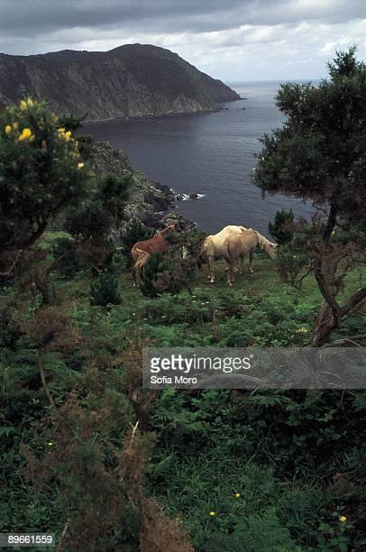 San Andres de Teixido Three horses eat in a cliff of San Andres of Teixido A Coruna province