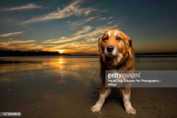 60 Top Bernese Mountain Dog Pictures Photos And Images Getty Images