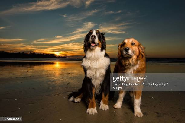 60 Top White Bernese Mountain Dog Pictures Photos Images Getty