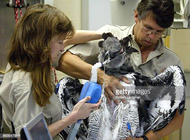 San Diego Zoo veterinarian Karen Kearns and animal care superisor Dave Orndorff hold a harpy eagle with a heart problem during an ultrasound test at...