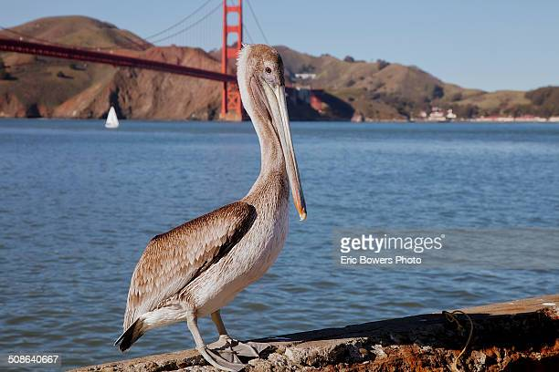 san francisco bay pelican - freshwater bird stock photos and pictures