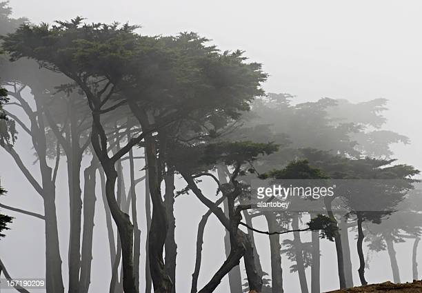 san francisco: cypress trees in fog at land's end - cypress tree stock pictures, royalty-free photos & images