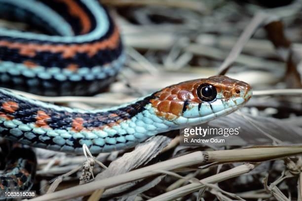 san francisco garter snake - garter snake stock pictures, royalty-free photos & images