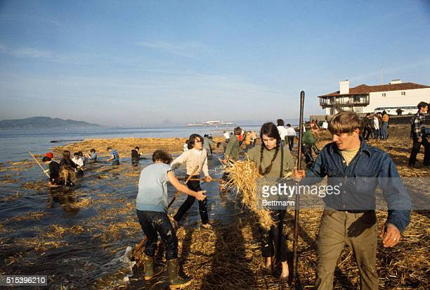 Volunteers most of them young people from around the San Francisco Bay area shovel and rake oilsoaked straw at beach just off St Francis Yacht Harbor...