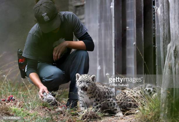 San Francisco Zoo animal keeper sits with a pair of two monthold Snow Leopard cubs at the San Francisco Zoo on August 9 2018 in San Francisco...