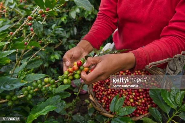San Jose, Nicaragua, San Raman, CECOCAFEN, coffee growing, hillside, farmer