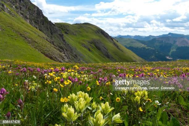 san juans summer wildflowers - san juan mountains stock photos and pictures