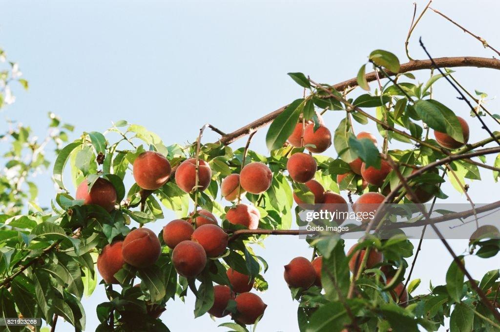 San Ramon Peaches : Stock Photo