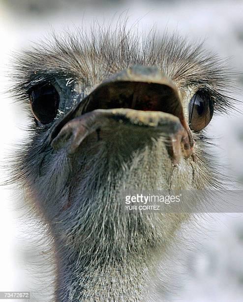 Un avestruz es visto en su jaula mientras es expuesto 02 de Marzo de 2007 en la Agroexpo 2007 que el Ministerio de Agricultura y Ganaderia impulsa en...