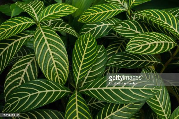 sanchezia nobilis leonard - bladnerf stockfoto's en -beelden