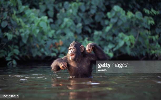 Sanctuary Chimpanzee in Congo Brazzaville wading out to canoe bringing food Chimps are contained on island in lagoon Date 250608