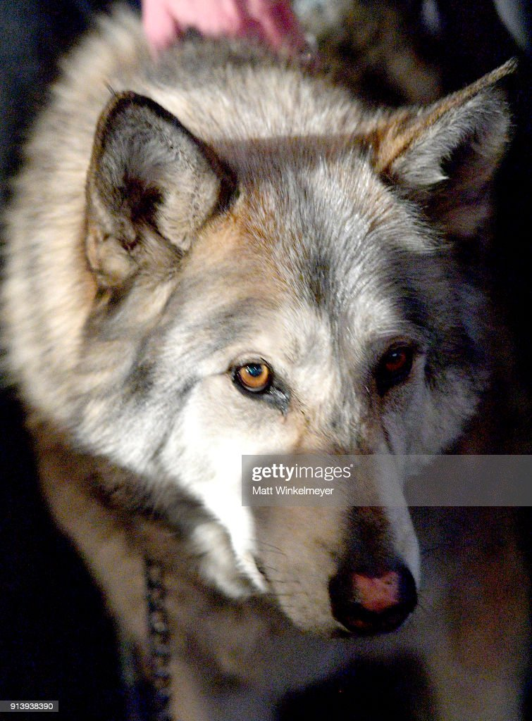 A sanctuary wolf is seen at a screening of 'The War In Between' during The 33rd Santa Barbara International Film Festival at the the Fiesta Theatre on February 2, 2018 in Santa Barbara, California.
