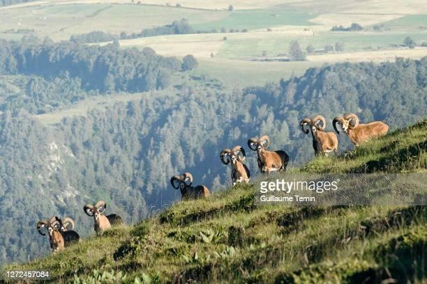 sancy's mouflon herd - オーヴェルニュ=ローヌ=アルプ ストックフォトと画像